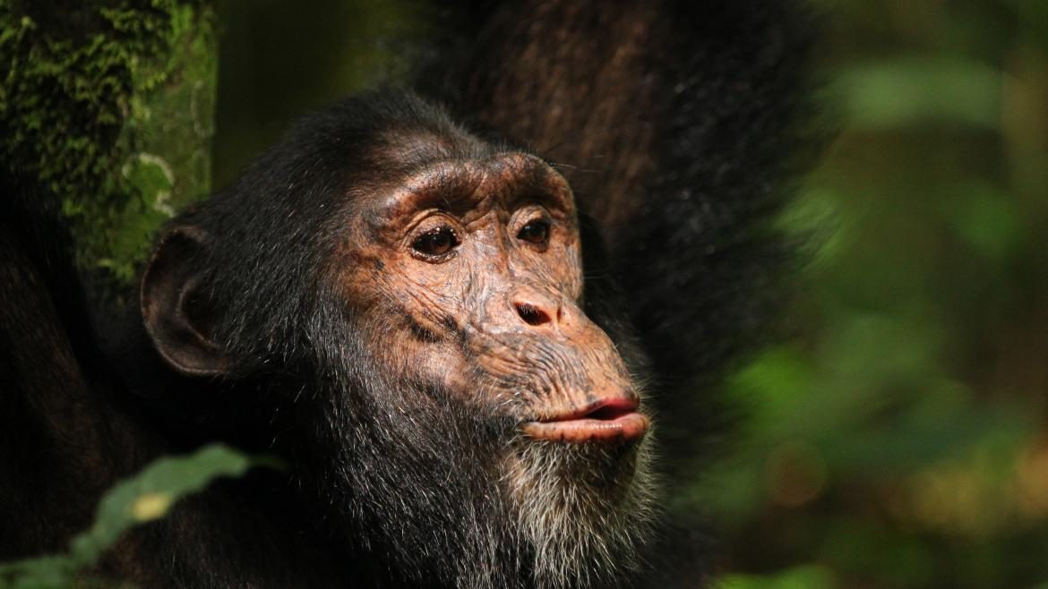 An adult chimp.