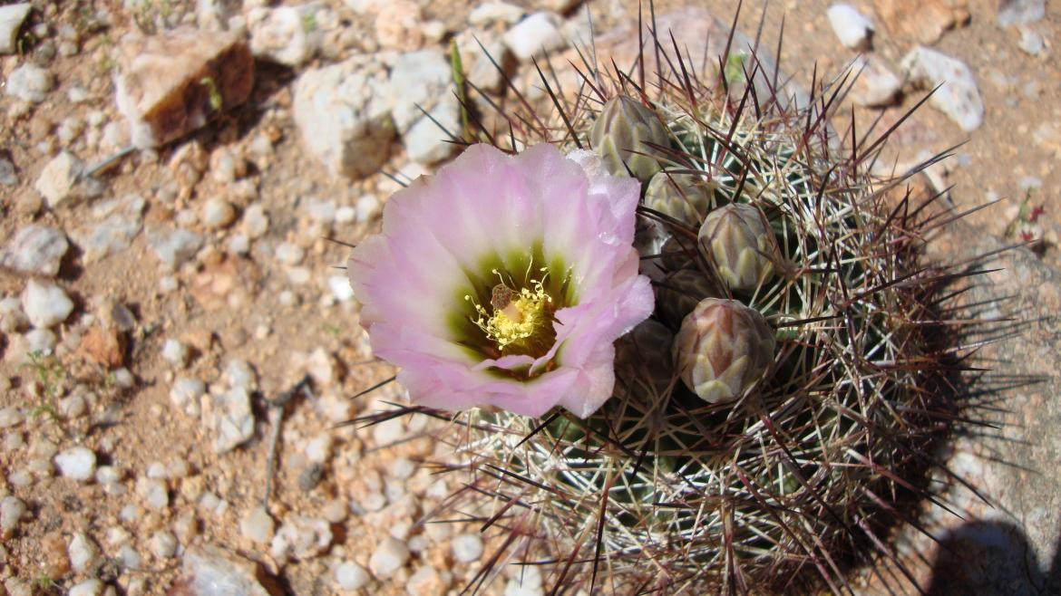 Acuna cactus with a purple blossom.