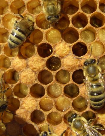 Young bees in a hive taking care of larvae.