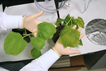 A researcher holds a tobacco leaf that makes a vaccine against West Nile virus
