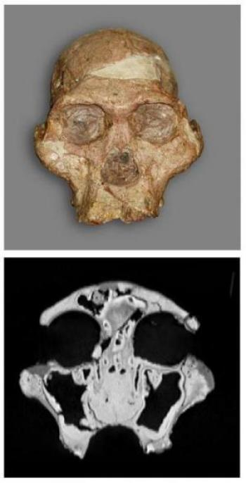 A. africanus skull and CT scan