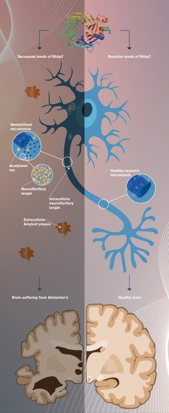 graphic showing the development of neurodegenerative pathology resulting from low levels of the protein Rbbp7