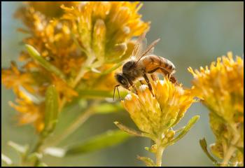 A honey bee feeds on a flower.