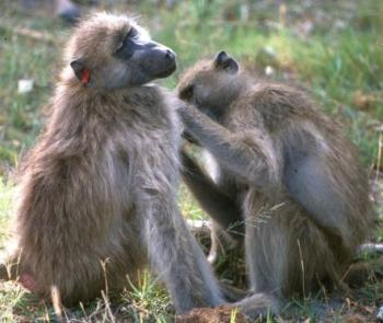 Baboon females grooming