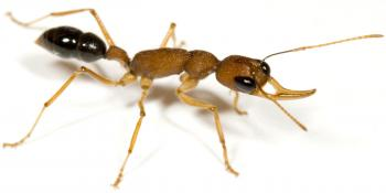 Close-up shots of the carpenter ant (left) and jumping ant (right).