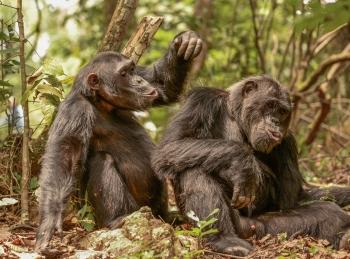 Gombe chimpazees