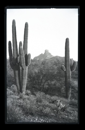 saguaro cactus in Phoenix from the McCulloch Brothers Photography Collection at the ASU Library