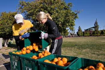 volunteers harvesting oranges on the ASU campus