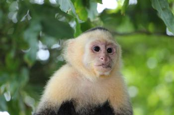 photo of white-faced capuchin monkey
