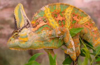 Color changes in chameleons convey different types of information.
