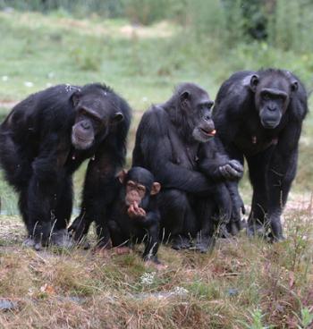 group of chimpanzees