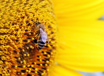 Bee collects pollen from sunflower