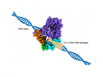 illustration of a model of DNA repair polymerase on a DNA strand