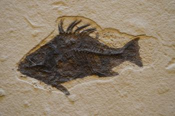 An image of a fossil of a fish