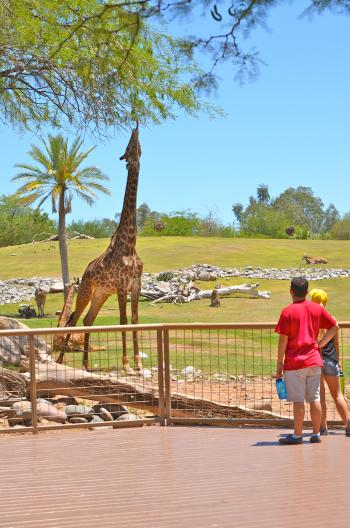 Giraffe at Phoenix Zoo