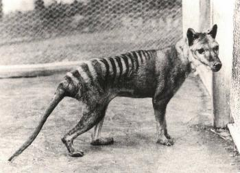 Tasmanian tiger at the Beaumaris Zoo in Hobart, Tasmania, 1928.