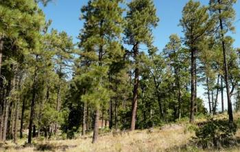 green ponderosa pine trees in northern Arizona meadow