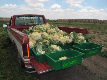 A pickup truck whose bed is filled with cauliflower