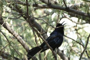 grackle in tree