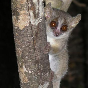 Grey-mouse lemur