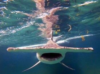 Hammer head shark just below surface of the water