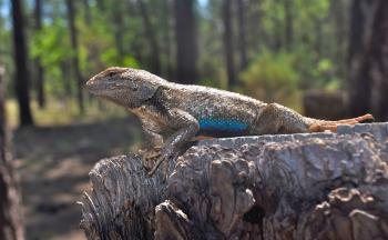 Global climate change is expected to negatively impact lizards.