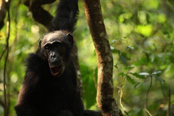 """""""Marlene"""" chimpanzee from Ngogo community"""