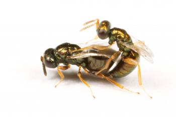 Nasonia vitripennis male wasp courting a N. vitripennis female