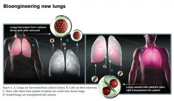 A schematic showing how researchers are bioengineering new lungs