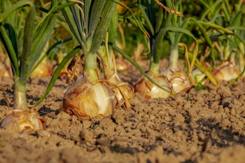 Onions growing in dirt