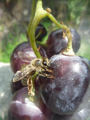 European honey bee on grapes containing resveratrol.
