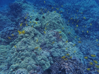 Herbivore fish, such as Yellow Tang, help to prevent algae from overgrowing coral on reefs, credit: Shawna Foo