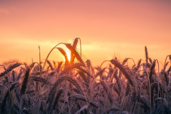 Grain in a field at sunset