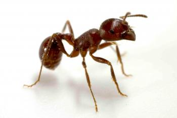 Ant genome research at ASU