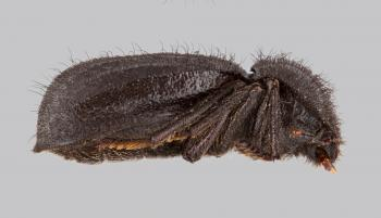 photographic illustration of lateral view of darkling beetle