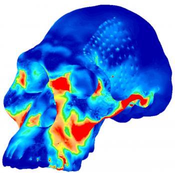 Compressive stress in the cranium of Australopithecus africanus