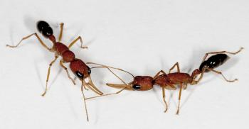 Mutant ants provide insights into social interaction | ASU