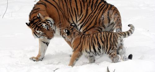 Tiger with cub ASU