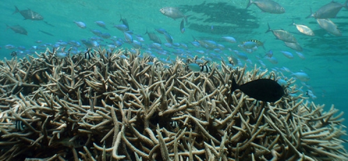 staghorn coral thicket in the Caribbean coral reef