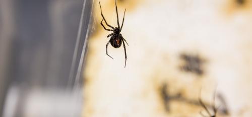black widows on web