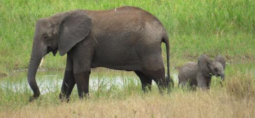 A baby elephant with an adult in Tanzania