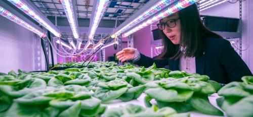 Yujin Park checks lettuce in ASU vertical farm