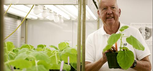 man holding tobacco plant in lab greenhouse