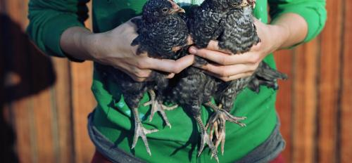 Holding chickens.