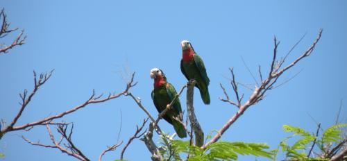 A pair of parrots sit in the upper branches of a tree.