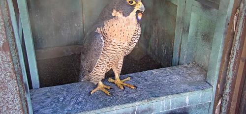 screenshot of peregrine falcon in Downtown Phoenix box