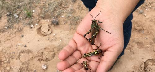 Three locusts in someone's palm