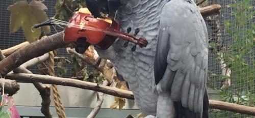 An African grey parrot plays a tiny violin.