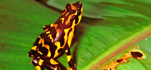 An atelopus varius, a frog species previously believed to be extinct
