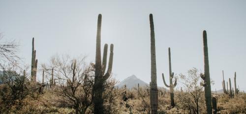 saguaro cacti in the desert